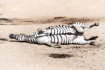 Zebra wallowing on the dusty ground. Funny animal. Africa.