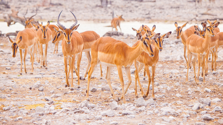 Herd of impalas at waterhole, Etosha National Park, Namibia, Africa