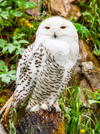 Snowy owl, Bubo scandiacus, sitting on the tree stump