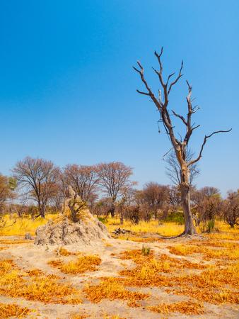 Termite hill in savanna, Okavango region, Botswana Stock Photo