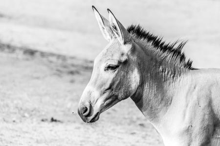 Portrait of grey donkey. Domestic mammal of farmlands. Black and white image.