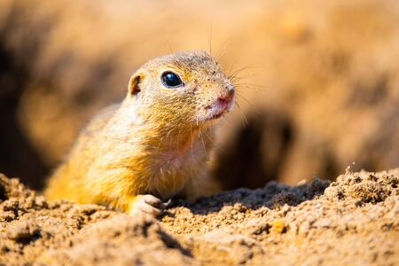 European ground squirrel, Spermophilus citellus, aka European souslik. Small cute rodent in natural habitat. Imagens