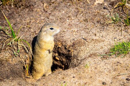 European ground squirrel, Spermophilus citellus, aka European souslik. Small rodent hidden in the burrow.