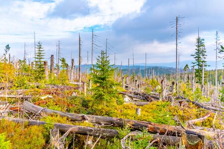 Devasted forest in cause of bark beetle infestation. Sumava National Park and Bavarian Forest.