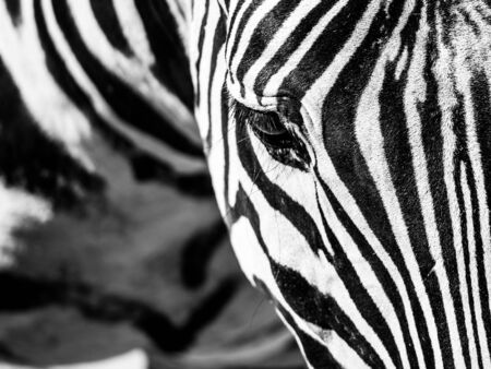 Zebra close-up portrait. Detailed view head with stripes.