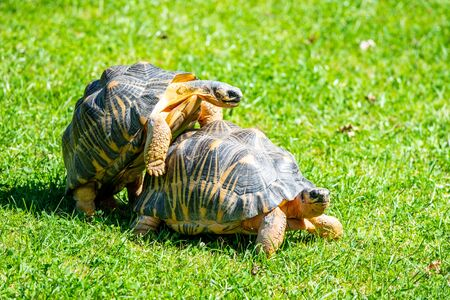 Couple of tortoises mating in the grass.
