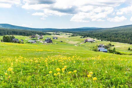 Meadow of yellow globe-flowers, Trollius europaeus in Jizerka village, Czech Republic.