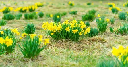 Wild yellow Narcissus on the mountain meadow. Jizerrka village, Jizera Mounains, Czech Republic.