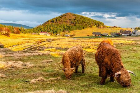 Highland cattle - Scottish breed of rustic cattle in Jizerka village with Bukovec mountain on the background. Jizera Mountains, Czech Republic.