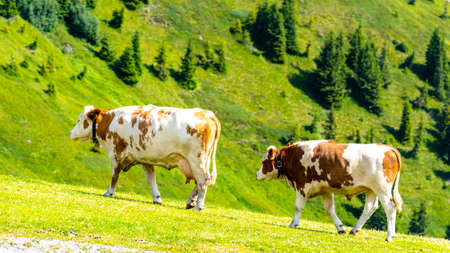Cows grazing on lush green alpine meadows. Austrian Alps, Austria.