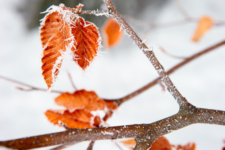 yellow oak leaves in the snow and frost photo