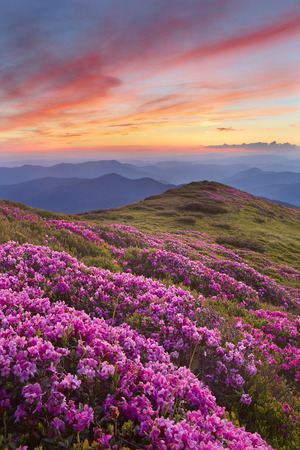 rhododendron in mountains on a background sunset photo