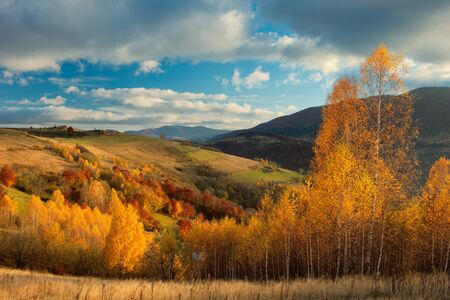 Autumn forest and yellow birch covered Carpathian mountains.