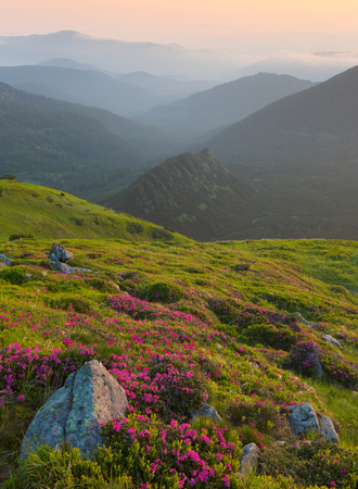 Rhododendron flowers and rocks in the foreground of the Carpathian Mountains. dramatic clouds. Sunrise
