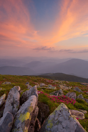 fireplaces: Rhododendron flowers and rocks in the foreground of the Carpathian Mountains. dramatic clouds. sunset