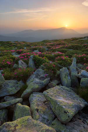 Rhododendron flowers and rocks in the foreground of the Carpathian Mountains. dramatic clouds. sunset