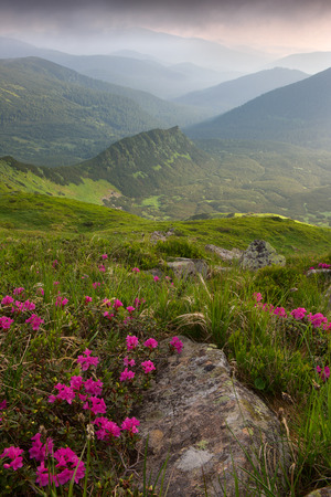 rhododendron flowers in the foreground, dramatic fog after thunderstorm.