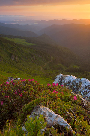rhododendron flowers in the foreground, the sky red clouds, sunset