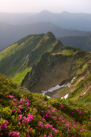 rhododendron flowers in the Carpathian Mountains and a morning light