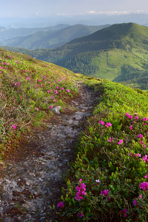 rhododendron flowers in the foreground, a mountain trail. the background fog