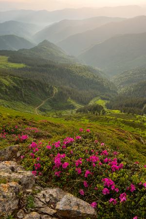 rhododendron flowers in the foreground, the Carpathian Mountains in the fog. evening light Stock Photo