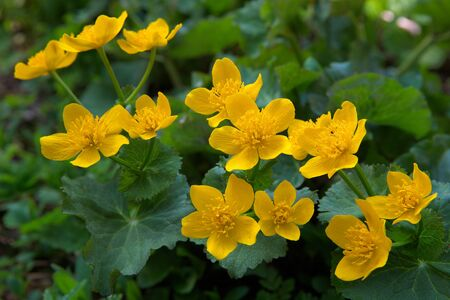 wild yellow flowers midst of green leaves Stock Photo