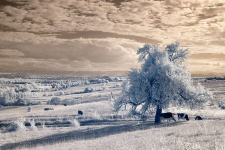 infrared, single tree on a hill in the background village sunset. Several cows grazing Stock Photo
