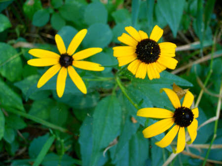 susan: Three Black-Eyed Susan flowers. Yellow daisy-like flowers with a dark center against a green foliage background.