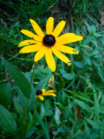 susan: Black-Eyed Susan flowers. Yellow daisy-like flowers with a dark center against a green foliage background.