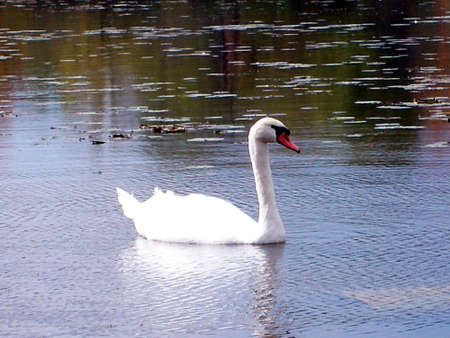 A swan swimming in rippling lake. Stock Photo
