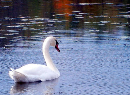 A swan swimming in placid lake. Stock Photo