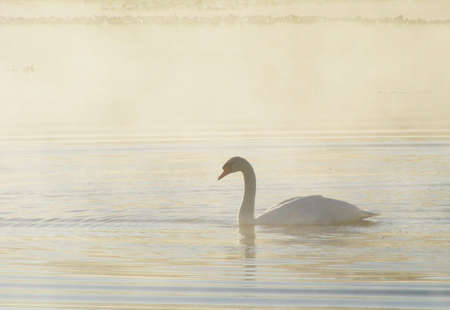 A swan swimming on a steaming lake in the early morning. Imagens