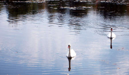 Two swans swimming in a placid lake.