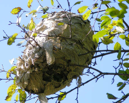 A wasp nest in a tree branch. Imagens