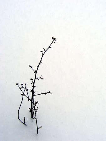 precipitaci�n: Un �nico, solitario malezas, sobresale de la nieve.  Foto de archivo