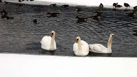 Three swans and assorted waterfowl swimming in an opening of a frozen lake.