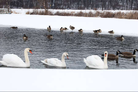 Three Swans swimming in a thawed area of a frozen lake Imagens