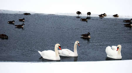 Three swans with other waterfowl swimming in a hole on a frozen lake. Imagens