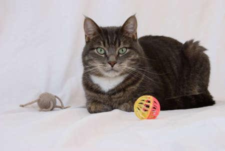 gray tabby: A gray tabby tomcat with a pair of toys. Stock Photo