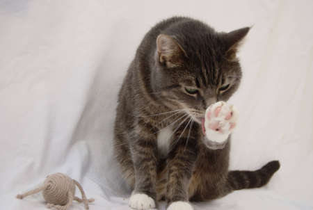 A gray tabby tomcat cleaning its back leg.