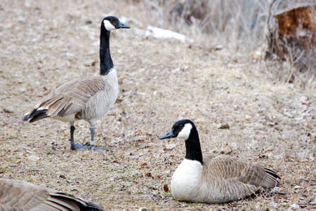 Canadian geese along the shore of a pond.