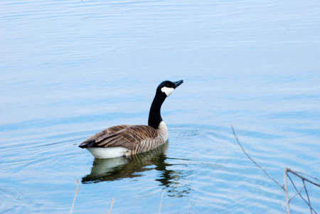A Canadian Goose swimming in a pond. Imagens