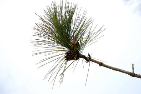 A branch of a pine tree with a cone at the end.
