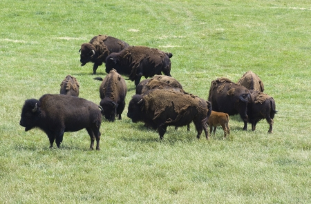 Herd of Bisons on a Pasture photo
