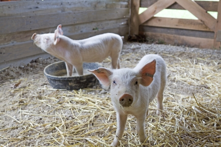pigpen: Two Piglets Standing in a Pigpen Stock Photo