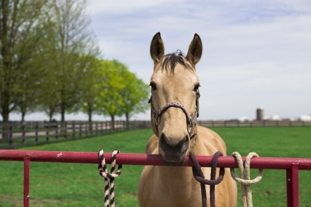 halter: young brown horse with halter