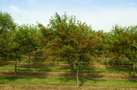 cherry tree in the orchard 版權商用圖片