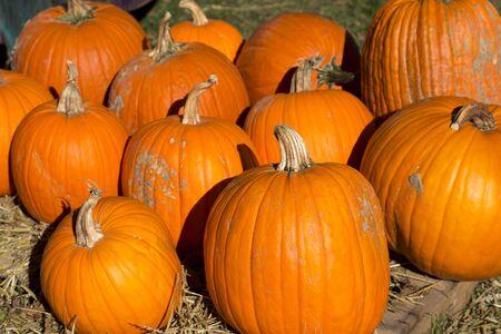 pile of ripe orange pumpkins in the fall season