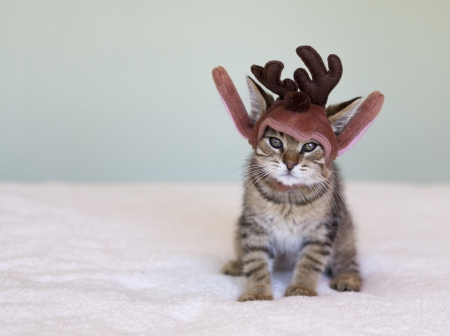 adorable shorthair tabby kitten wearing a Christmas reindeer hat 版權商用圖片