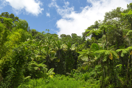 forest conservation: Tropical rainforest scenery in El Yunque, Puerto Rico